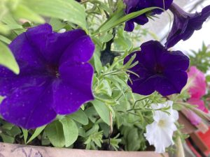 ペチュニア花